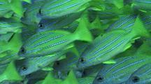 Bluestripe Snapper(Ta'ape); (Lutjanus Kasmira)School Tightly Packed