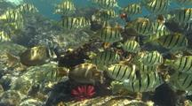 School Convict Tangs(Acanthurus Triostegus), And Other Surgeonfish Moves Through Shallow, Sunstreaked Water