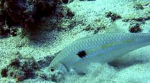 White Goatfish(Mulloidichthys Flavolineatus)Uses Barbels To Feed In Sand