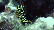 Zebra Flatworm(Pseudoceros Zebra)Moves Towards Camera