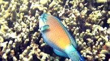 Bullethead Parrotfish(Chlorurus Sordidus)Nibbles On Finger Coral
