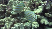 Pair Ornate Butterflies(Chaetodon Ornatissimus)Nibble Algae On Lobe Coral