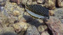 Female Whitley's Boxfish(Ostracion Whitleyi)Eats Algae On Dead Coral