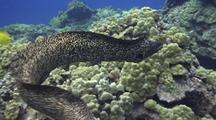 Huge White Mouth Moray Eel(Gymnothorax Meleagris)Swims In Open, Followed Closely By Camera