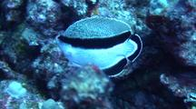 Bandit Angelfish(Desmoholocanthus Arcuatus)Meanders Thru Coral