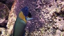 Saddleback Wrasse(Thalassoma Duperrey)Loudly Gobbles Up Sergeant Major Eggs
