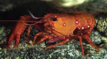 Hawaiian Lobster(Enoplometopus Occidentalis)Leaves Lair In Cave