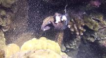 Yellowmargin Moray(Gymnothorax Flavimarginatus)Eats Octopus Legs