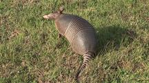 Nine-Banded Armadillo, Dasypus Novemcintus, Sniffs Air and Searches For Insects