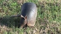 Nine-Banded Armadillo (Dasypus Novemcintus) Searches For Insects