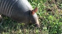 Nine-Banded Armadillo (Dasypus Novemcintus) Searches, Gobbles Up  Insects