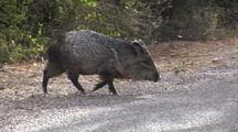 Collared Peccary (Tayassu Tajacu) Appears From Brush In Chihuahuan Desert