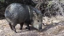 Collared Peccary(Tayassu Tajacu)Finds, Eats Scrap In Campsite