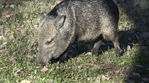 Collared Peccary(Tayassu Tajacu)Browses On Grass