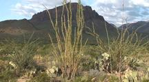 Ocotillo Cactus In Bloom,Chisos Mountains Background; Zoomed, Pullback
