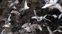 C/U Millions Mexican Free-Tailed Bats(Tadarida Brasiliensis)Pour From Mouth Of Cave