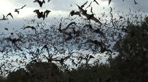 Millions Mexican Free-Tailed Bats(Tadarida Brasiliensis), Zoom, Then Wide