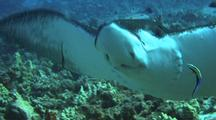 Close Up Spotted Eagle Ray(Aeotobatus Narinari) At Cleaning Station