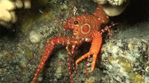 Bullseye Lobster Emerges, Then Returns To Shelter