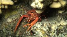 Bullseye Lobster Emerges Briefly, Backs Under Coral