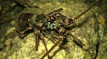 Spiny Lobster Moves Slowly From Light In Lava Tube