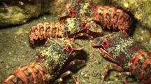 Group Of Regal Slipper Lobsters Meet In Lava Tube