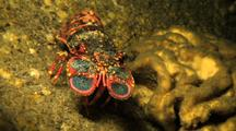 Regal Slipper Lobster In Lava Tube Slowly Backs Away From Camera