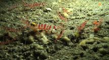 Peppermint Or Candy Cane Shrimp Mingle In Lava Tube