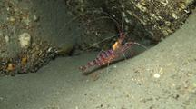 Peppermint Or Candy Cane Shrimp Moves Around In Lava Tube