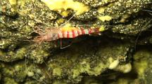 C/U Peppermint Or Candy Cane Shrimp  In Lava Tube