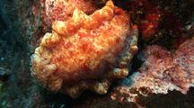 Spanish Dancer Nudibranch  On Lava Wall