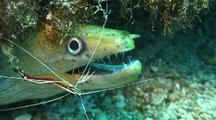 Undulated Moray(Gymnothorax Undulatus) Cleaned By Scarlet Cleaner Shrimp