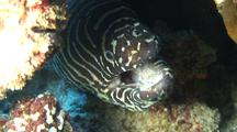 C/U Zebra Moray Opens Mouth, Head Protruding From Coral