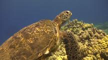 Large Male Green Turtle, 2 Small Remora On Back, 2 Large Barnacles On  Side Swims Slowly