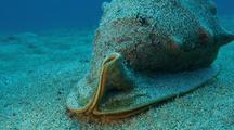 Helmet Snail Moves Slowly Across Sand