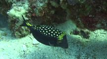 Male Spotted Boxfish Emerges, Faces Camera