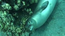 Endangered Hawaiian Monk Seal Rolls On Back, Approaches Diver