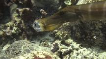 Trumpetfish With Fresh-Caught Yellow Tang Visible In Mouth