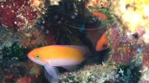 Behavior--Bicolor Anthias Hesitates To Leave Shelter, Pushed By Other Anthias And Banded Coral Shrimp