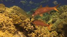 Yellowfin Goatfish Has Hawaiian Cleaner Wrasse Enter Mouth At Cleaning Station