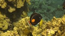 Achilles Tang Swims Among Other Tangs And Butterflies