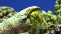Hairy Hermit Crab Emerges From Auger Shell