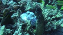 Several Large Moray Eels Grab And Feed On Wahoo Head