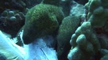 Swarm Of Large Moray Eels Grab And Feed On Wahoo Head