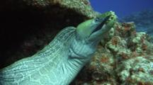 Camera Approaches Large Undulated Moray Eel