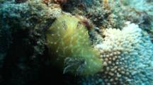Gold Lace Nudibranch Glides Across Rice Coral