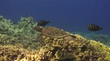 Juvenile Green Turtle Swims With Sailfin Surgeonfish