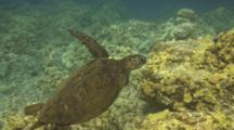 Young Turtle,Missing Front Flipper From Shark Attack, Stump Moving