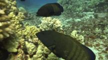 Peacock Groupers Wait For Moray Eel Appearance
