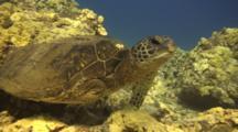 Green Sea Turtle, Shark Victim, Maneuvers Off Coral, Swims Minus One Leg